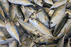 Fish, fresh mackerel. Fresh fish Mackerel on ice in the fresh market stock image
