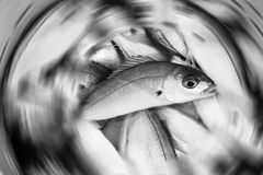 Fish fresh recently caught in a bucket with a radial blur. Black and white fish fresh recently caught in a bucket with a radial blur Royalty Free Stock Photography
