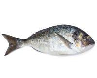 Fish. Fresh sea fish gilt-head bream on white royalty free stock photography