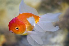 Fish in a fresh-water aquarium. Decorative fishes in a domestic aquarium Royalty Free Stock Photography