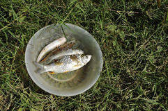 Fish Fresh Water Grass Outdoor Bowl Royalty Free Stock Image