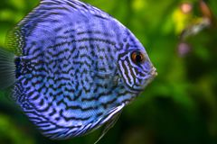 Fish, Freshwater Aquarium, Close Up, Organism royalty free stock photo