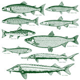 Fish freshwater vector 2. Types freshwater fish Stock Photo