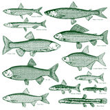 Fish freshwater vector 3. Types freshwater fish Stock Image