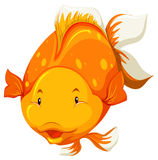 A fish. Front view of a chubby golden fish Royalty Free Stock Images