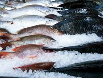 Fresh fish frozen in ice, red snapper, croaker and tilapia fish in cold storage royalty free stock photos