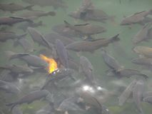 Fish gather royalty free stock photography