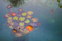 Fish and Giant Lily Pads in a Lake Stock Images