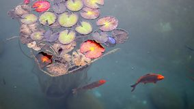 Fish and Giant Lily Pads. stock footage
