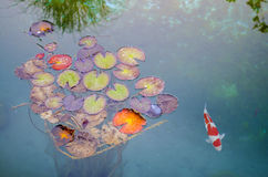 Fish and Giant Lily Pads Royalty Free Stock Photo