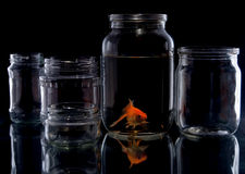 Fish in glass jar. Goldfish in a glass jar on a black background Stock Photography