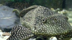 Fish, Gliptoperiht brocade stock video
