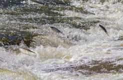 Fish going upstream for spawning. Stock Image