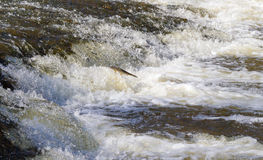 Fish going upstream for spawning. Fish jumping up in waterfall and going upstream for spawning Stock Photo