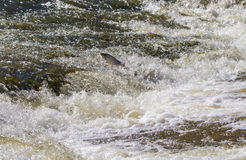 Fish going upstream for spawning. Fish jumping up in waterfall and going upstream for spawning Royalty Free Stock Photo