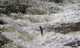 Fish going upstream for spawning. Fish jumping up in waterfall and going upstream for spawning Stock Photos