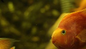 Fish  goldfish looking at the camera stock video footage