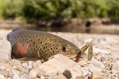 Fish goldilocks Stock Photos