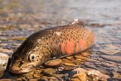 Fish goldilocks Royalty Free Stock Image