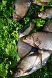 Fish On Grass Royalty Free Stock Photo