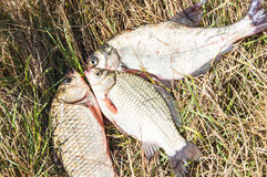 Fish on the grass Stock Images