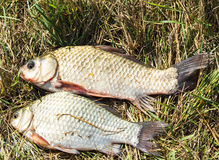 Fish on the grass Royalty Free Stock Image