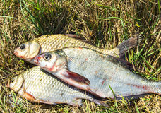 Fish on the grass Stock Photos