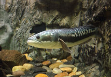 Fish Great snakehead.(Channa micropeltes) Royalty Free Stock Images
