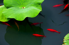 Fish and green leaves of lotus. There is a scenery of red fish in the water with green lotus leaves aside Royalty Free Stock Photography