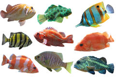 Fish Group. Collage of aquarium fish isolated on white background royalty free stock photo