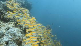 Fish grouped together underwater. A tracking shot of yellow fish group together. Pans to the right to show a group of yellow fish stock video