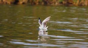 Fish! The gull on the water. Naivasha lake, Africa Stock Photo