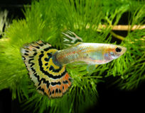 Fish guppy. In fishtank with water plant in background royalty free stock photos