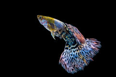 Fish guppy royalty free stock image
