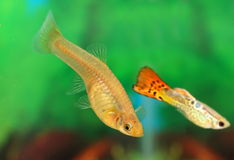 Fish of the guppy Stock Photography