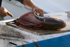 Fish Gutting. A fisherman cuts and guts a fish Stock Photography