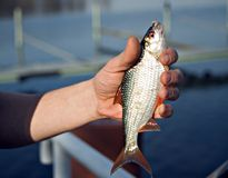 Fish in hand. Angler holds white fish in the hand. The fish hook and the bait look from the fish muzzle stock photo