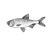 Fish. Hand drawn engraving seafood icon. Stock Photos