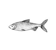 Fish. Hand drawn engraving seafood icon. Stock Images