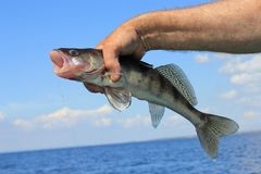 Fish in hand fisherman. Fish catch a walleye hand the sky blue water Stock Photo