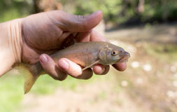 A fish in the hand of a fisherman in nature Stock Photos
