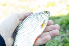 Fish in hand, large roach. Morning catch of large fish roach in summer hands Royalty Free Stock Photos