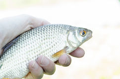 Fish in hand, large roach. Morning catch of large fish roach in summer hands Royalty Free Stock Photography