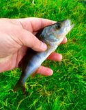 Fish in hand Stock Photography