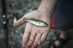 Fish in Hand. Picture of a boy holding an infant small mouth bass Royalty Free Stock Photography