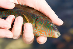A fish in the hands Stock Photo