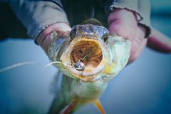 The fish is in the hands of a fisherman. royalty free stock images