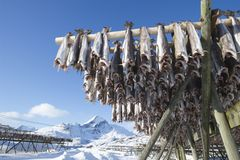 Fish hang on drying rack in Norwegian fishery Stock Photography