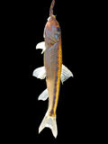 Fish hanging on a hook on a black background. Freshwater fish hanging on a hook on a black background Royalty Free Stock Image
