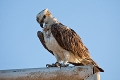 Fish hawk Royalty Free Stock Photo